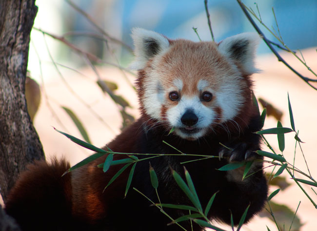 Do not miss the Oklahoma City's Zoo, there you can see red pandas among other animals.